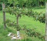 espalier-pear-after