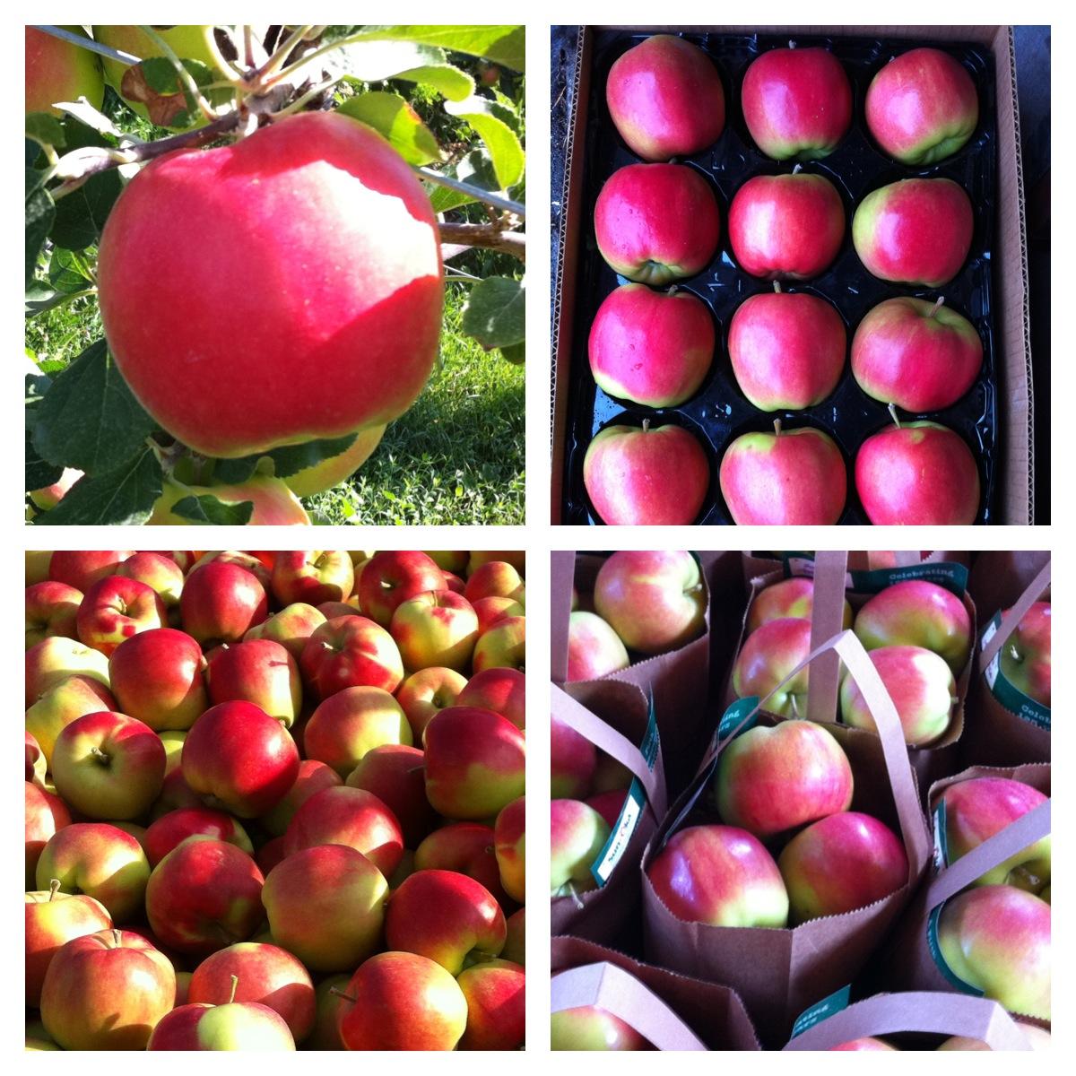 Sunrise Apple Sunrise Apples From